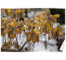 Ice Storm 2013 - Frozen Azalea Leaves  Poster