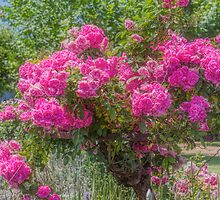 China Doll Rose by Elaine Teague
