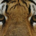 Eyes of the Tiger by Sandy Keeton