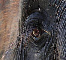 Elephant Lashes by Rochelle Boardman