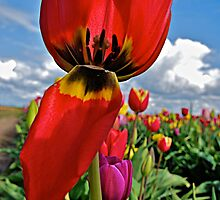 Red Tulip by Chris Donner