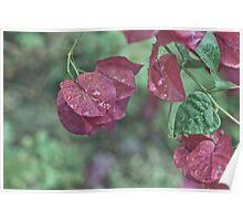 Bougainvillea Plant Poster