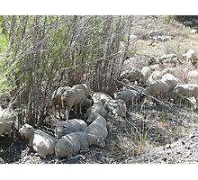 Sheep Huddle Photographic Print