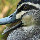 Australian Black Duck by Jane McDougall