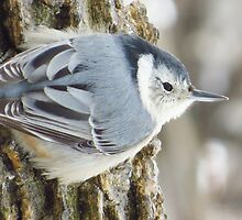 Little Nuthatch by lorilee