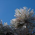 Toronto Ice Storm 2013 - Pine Needle Flower by Georgia Mizuleva