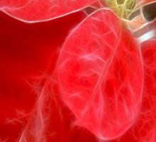 Mottled Red Poinsettia 1 Ephemeral Merry Christmas S2F1 Sticker