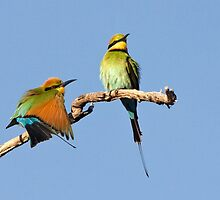 Rainbow Bee-eaters ~ Early Morning Stretch by Robert Elliott