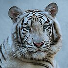 White Tiger by Sandy Keeton