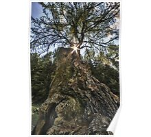 Ancient tree fine art photo tree Val d'Ultimo European larch - millenarian tree wall art - 0 A.D. Poster
