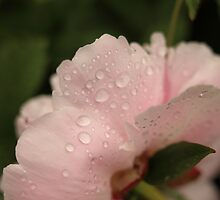 Pink drops. by Elisabeth Thorn