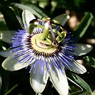 passionfruit flower by Bee Williamson