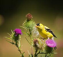 Yellow Finch by Thomas Young
