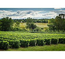 Afternoon in a Vineyard Photographic Print