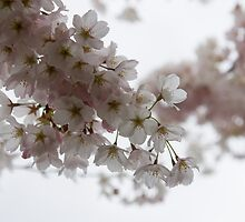 Clouds of Soft Pink Blossoms - a Tribute to Spring by Georgia Mizuleva