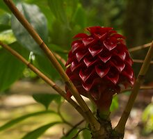 Glorious Red Wax Ginger - a Gift from Hawaii by Georgia Mizuleva