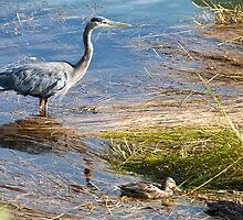 Naturalistic photo heron and ducks swamp birds color wall art - Nella Palude by visionitaliane