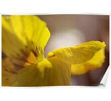 Yellow Pansy Poster