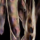Acacia Birth by Natalie Ord