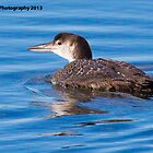 Common Loon - Hampton Marsh - Hampton, NH 12-24-13 by David Lipsy
