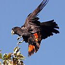 Red-tailed Black Cockatoo - A Splash of Red by Robert Elliott