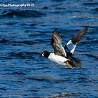 Common Goldeneye - Merrimack River - Manchester, NH 12-25-13 by David Lipsy