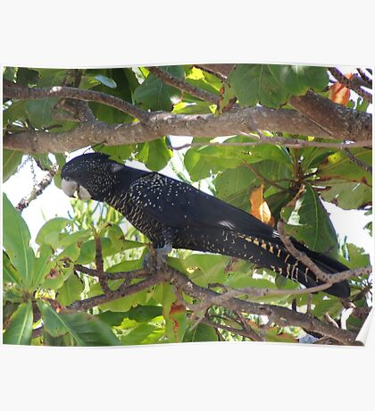Female Red Tail Black Cockatoo Poster