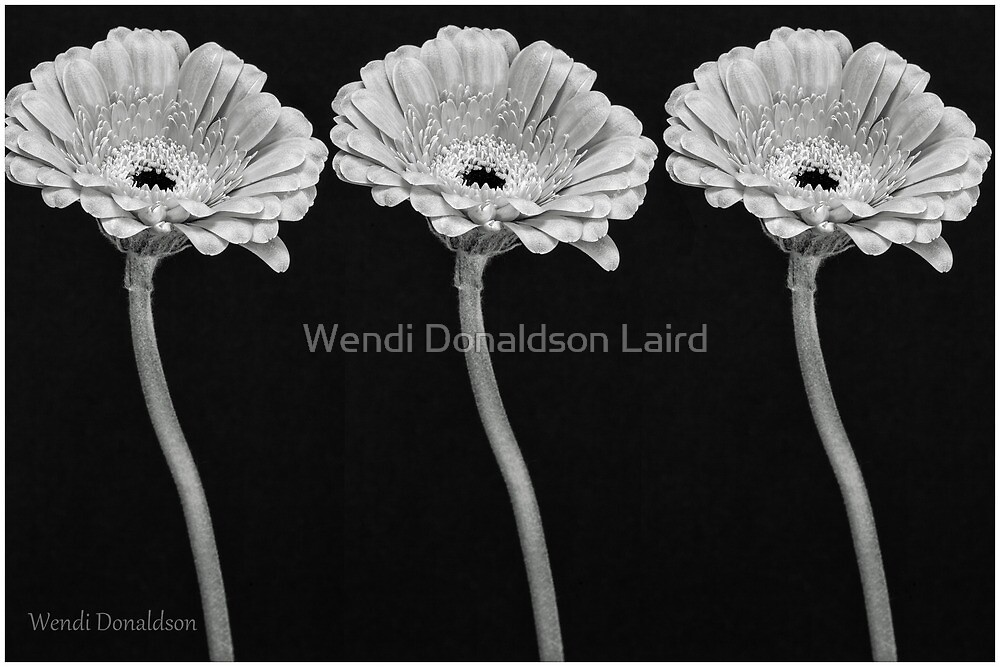 Daisies by Wendi Donaldson Laird