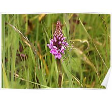 Spotted orchid. Poster