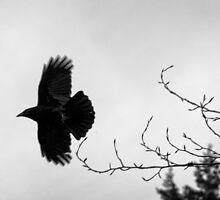 Crow in flight naturalistic animal black and white wall art - Sono soltanto il Corvo by visionitaliane