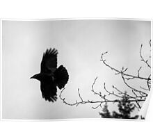 Crow in flight naturalistic animal black and white wall art - Sono soltanto il Corvo Poster