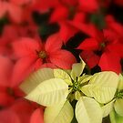 Poinsettia's by Grinch/R. Pross