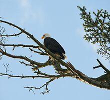 Fine art naturalistic animal photo bald eagle against blue sky - America - L'Aquila by visionitaliane