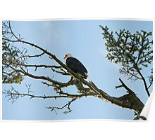 Fine art naturalistic animal photo bald eagle against blue sky - America - L'Aquila Poster