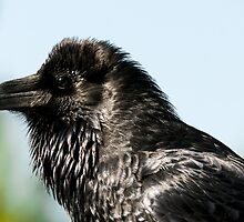 Raven from Yellowstone close up bird animal fine art - Il Briccone by visionitaliane