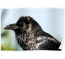 Raven from Yellowstone close up bird animal fine art - Il Briccone Poster