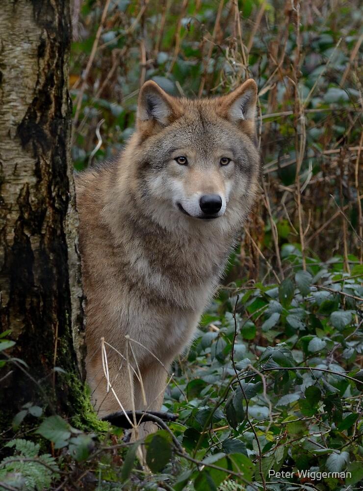 European wolve- I by Peter Wiggerman