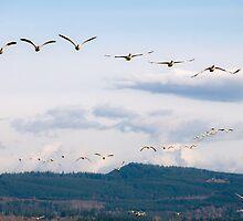 Naturalistic bird migratory snow geese in flight - I Viaggiatori by visionitaliane