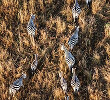 Zebras From the Air by travisdallen