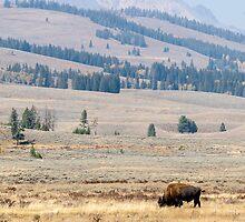 Wild buffalo bison bull Yellowstone park naturalistic - Thunderbeast by visionitaliane