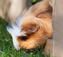 Cute guinea pig by Martyn Franklin