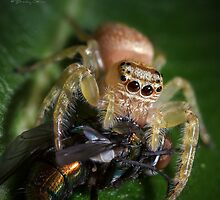 Jumping Spider #3 by Brad Grove