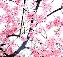 Falling Cherry Blossoms by vickisee