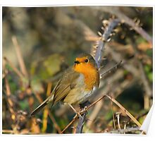 Robin on Bramble Poster