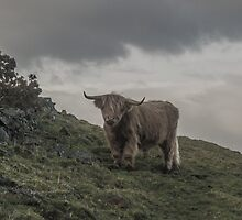 Highland Coo by Luke Griffiths