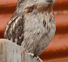 Grumpy Owl by Liesldayphotos