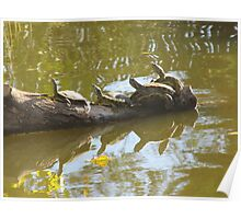 Four Turtles Sunning Themselves on a Log Poster