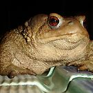 Close Up of A Common European Toad by taiche
