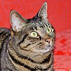 Mackerel Tabby Portrait by Margaret S Sweeny