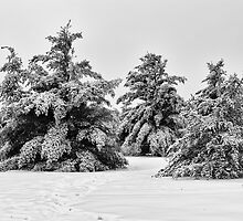 Pines after a snow storm by MichaelBachman